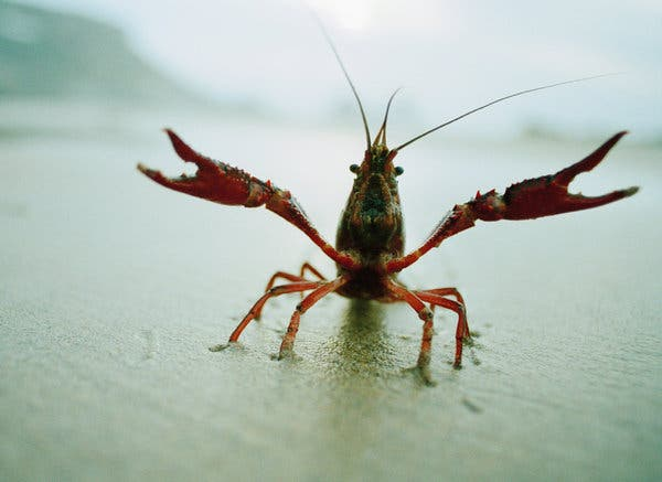 CRAYFISH-articleLarge